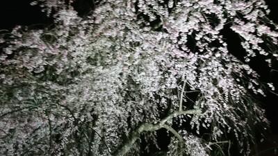 2019桜2.JPG