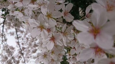 2019桜4.JPG